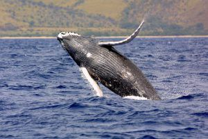 whale watching tours in Puerto Vallarta