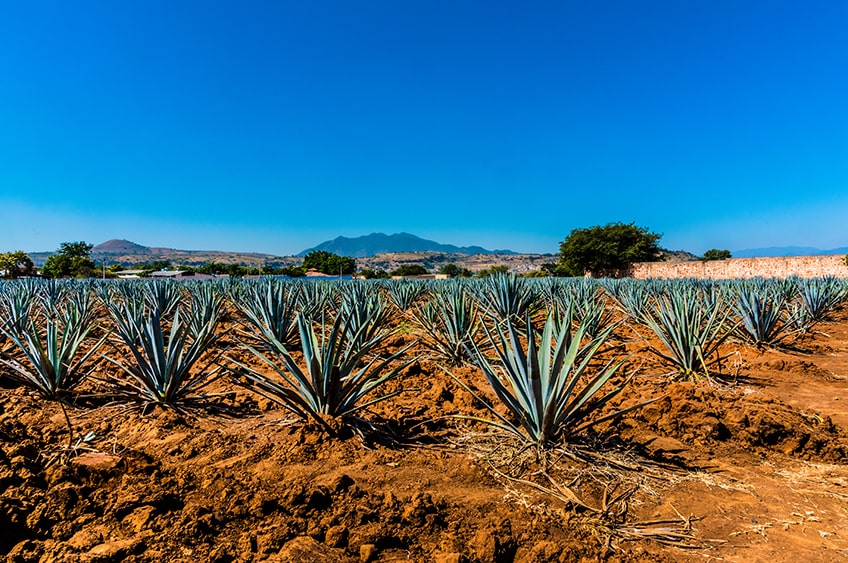 Mexican agave plant